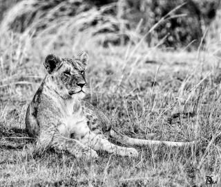 Lionne 1